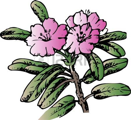 340 Rhododendron Stock Vector Illustration And Royalty Free.
