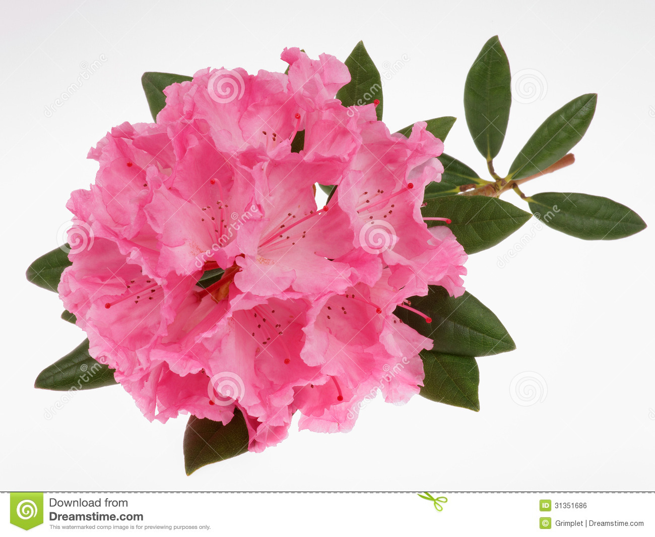 Rhododendron Royalty Free Stock Image.