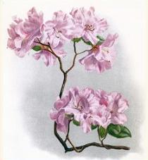 Free Rhododendron Clipart.