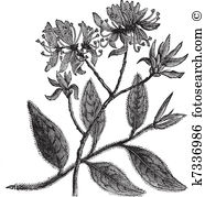 Rhododendron Clipart and Illustration. 155 rhododendron clip art.
