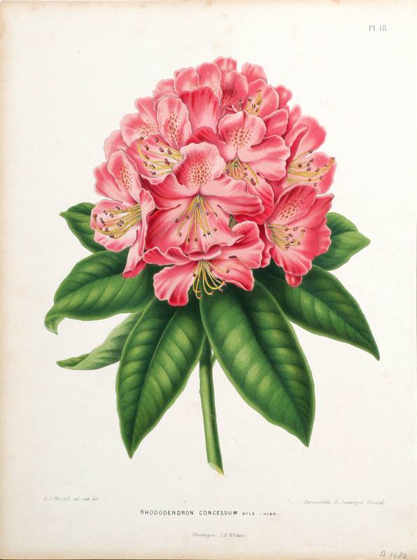 1887 Gorgeous Antique FLOWER print, color lithograph of a pink.