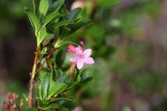 Alpine Wild Flowers Rhododendron Hirsutum Stock Images.