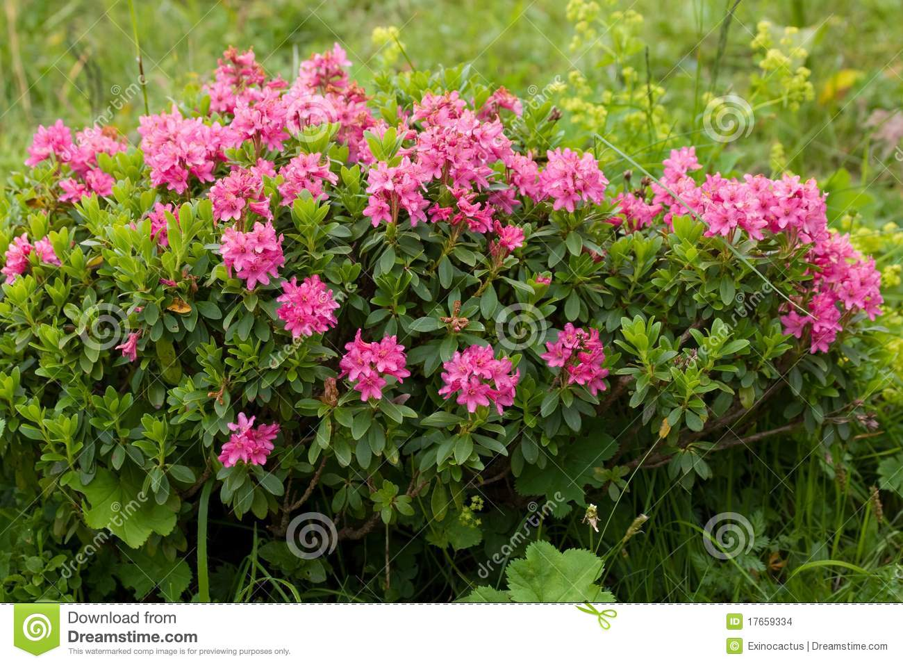 Alpine Wild Flowers Rhododendron Hirsutum Stock Images.