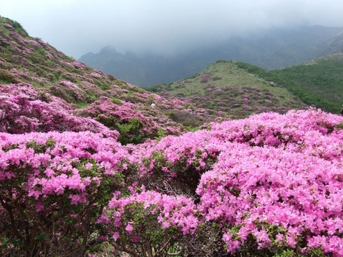 Rhododendron kiusianum aso free stock photos download (65 Free.