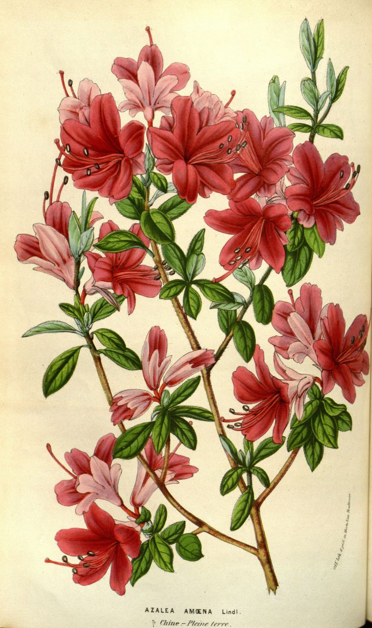 1000+ images about RHODODENDRON on Pinterest.