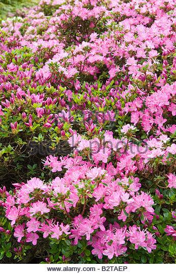 Rhododendron Kiusianum Stock Photos & Rhododendron Kiusianum Stock.
