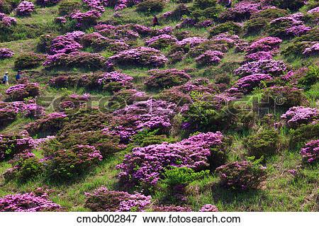 Picture of Rhododendron field at Sensui gorge, Kumamoto Prefecture.