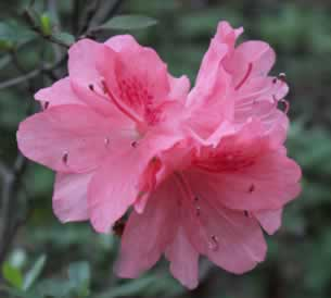 Henning's Rhododendron & Azalea Pages.