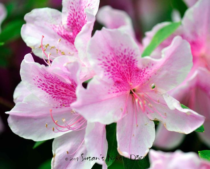 1000+ images about Azaleas Azaleas Azaleas on Pinterest.