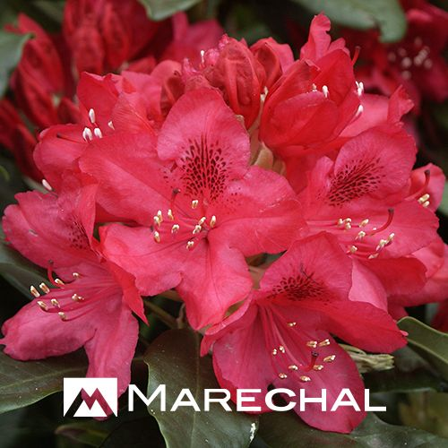 1000+ images about Rhododendro on Pinterest.