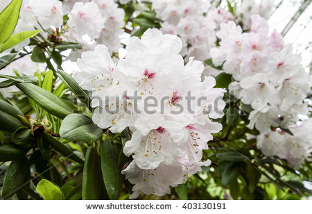 Rhododendron Foto, immagini royalty.