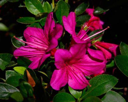 GardensOnline: Rhododendron Kurume Hybrid.