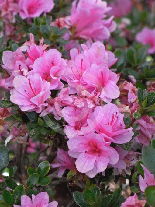 Rhododendron Kurume Hybrid Kirin.