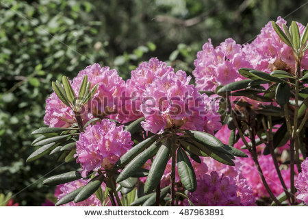 Rhododendron Lizenzfreie Bilder und Vektorgrafiken kaufen.