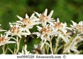 Asteridae Stock Photos and Images. 179 asteridae pictures and.