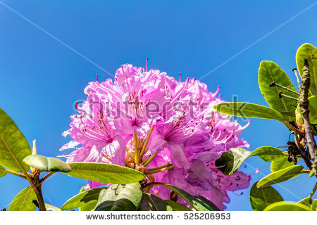 """rhododendron Bloom"" Stock Photos, Royalty."