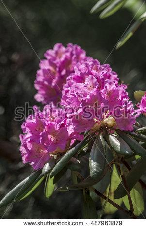 Rhododendron Stock Photos, Royalty.