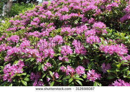 """rhododendron Illustration"" Stock Photos, Royalty."