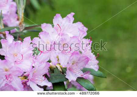 Rhododendron Close Up Stock Photos, Royalty.