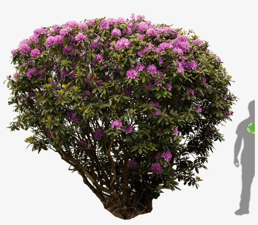 rhododendron png #2