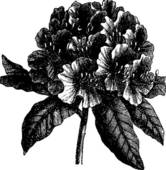 Rhododendron Clip Art.