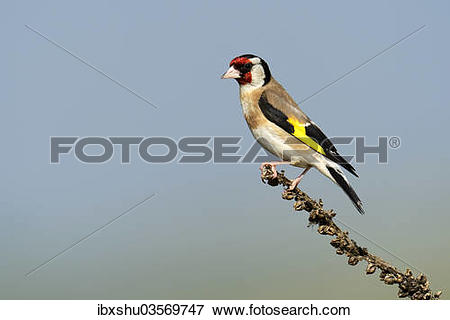 """Picture of """"Goldfinch (Carduelis carduelis) perched on a branch."""