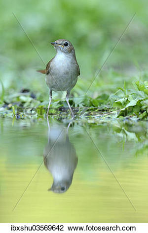 """Stock Photo of """"Nightingale (Luscinia megarhynchos) with its."""