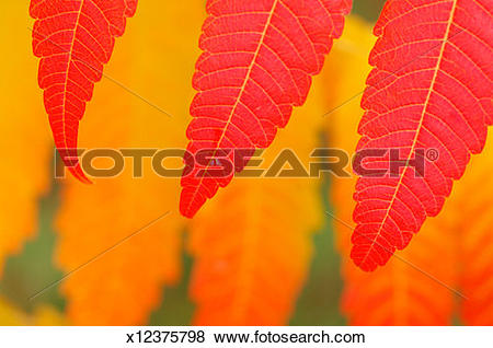 Pictures of Autumn leaves of Staghorn Sumac / Vinegar Tree (Rhus.