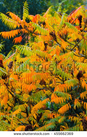 Rhus Typhina Stock Images, Royalty.