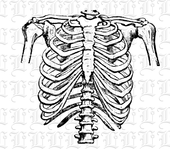Human Rib Cage Frontal Position Vintage Clip Art Illustrations.