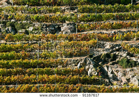 Vineyards Ribeira Sacra Galicia Spain Stock Photo 91167617.