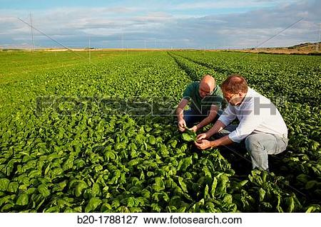 Picture of Spinach growing fields, Agricultural investigation and.