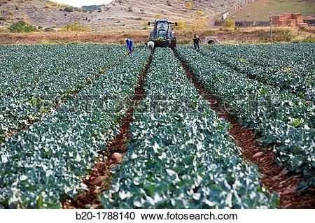 Stock Photography of Broccoli growing fields, Agricultural fields.