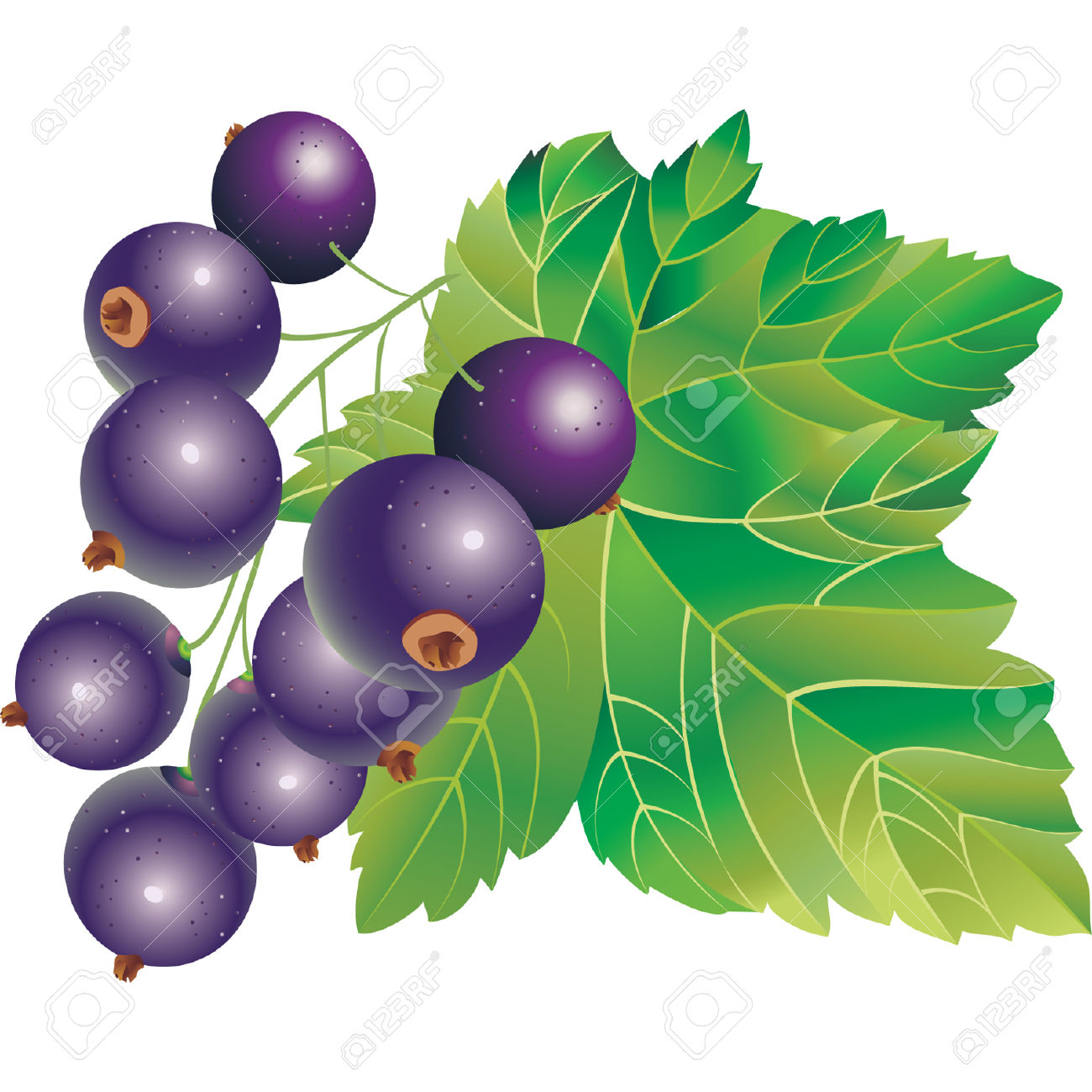 Vector Immagine Di Ribes Nero Clipart Royalty.