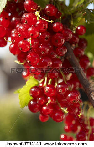 Stock Photograph of Redcurrants growing on a Redcurrant bush.