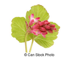 Ribes Illustrations and Clip Art. 44 Ribes royalty free.