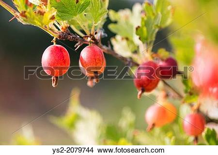 Stock Photo of Gooseberries (Ribes uva.