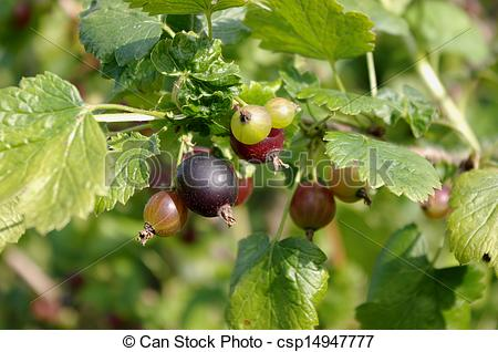 Picture of Jostaberry (Ribes x nidigrolaria).