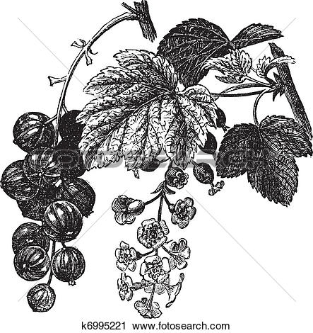 Clipart of Red currant (Ribes rubrum) vintage engraving k6995221.