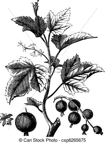 Clipart Vector of Ribes berry or blackcurrant or vintage engraving.