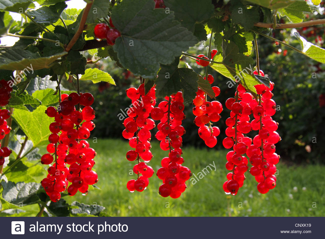 Northern Red Currant (ribes Rubrum), Fruits At The Bush In.