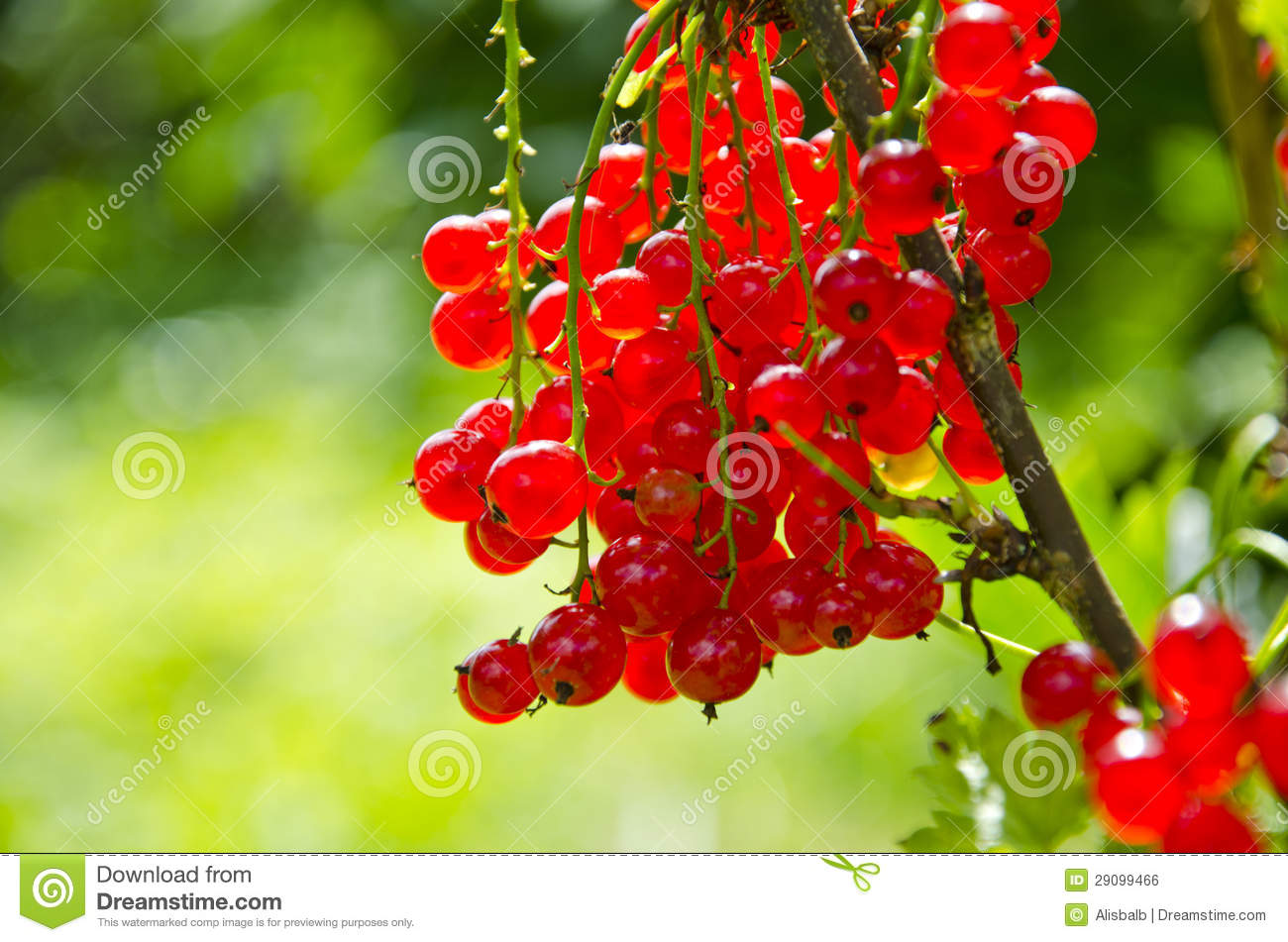 Redcurrant (Ribes Rubrum) Berry Bunch Royalty Free Stock Image.