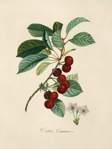 1000+ images about Red currant on Pinterest.