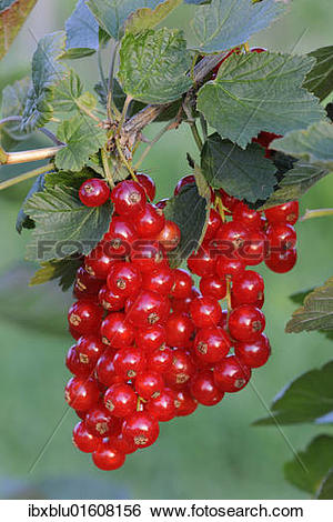 Stock Images of Red currants (Ribes rubrum) ibxblu01608156.