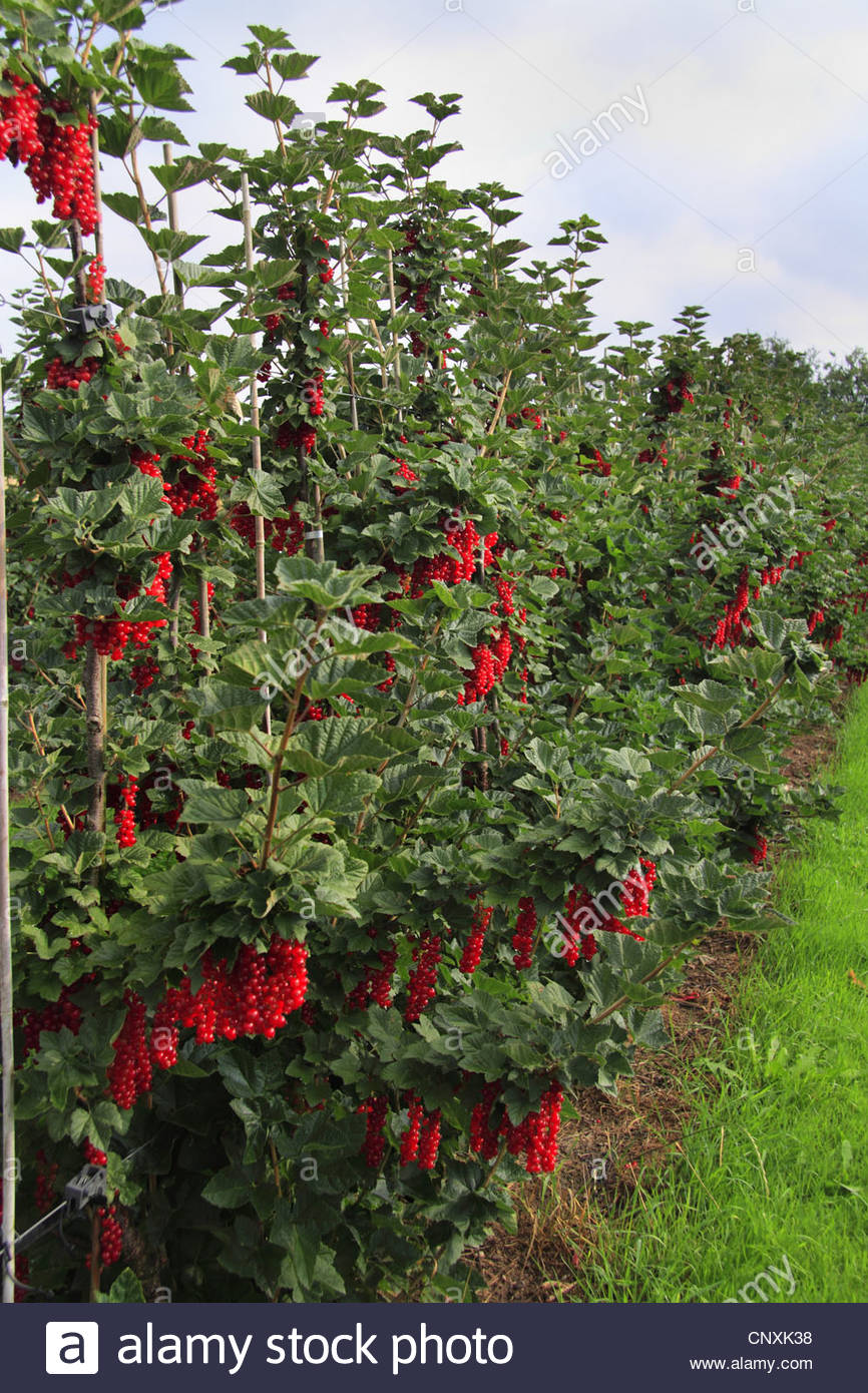 Northern Red Currant (ribes Rubrum), Fruiting Bushes Stock Photo.