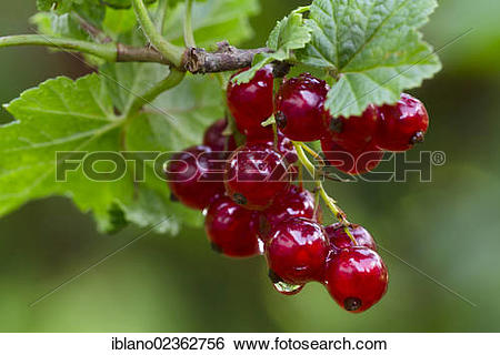 """Stock Images of """"Red currant (Ribes rubrum), Schwaz, Tyrol."""