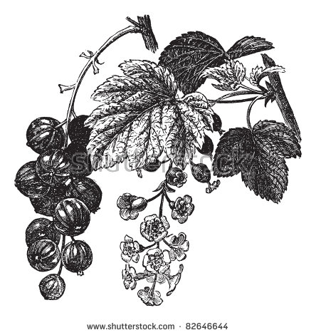 Red Currant Ribes Rubrum Vintage Engraving Stock Vector 82646644.