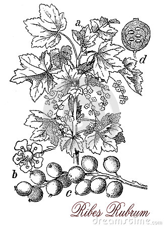 Ribes Rubrum, Red Currant Flowers Stock Photo.