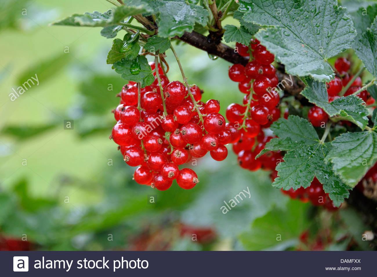Northern Red Currant (ribes Rubrum 'rondom', Ribes Rubrum Rondom.