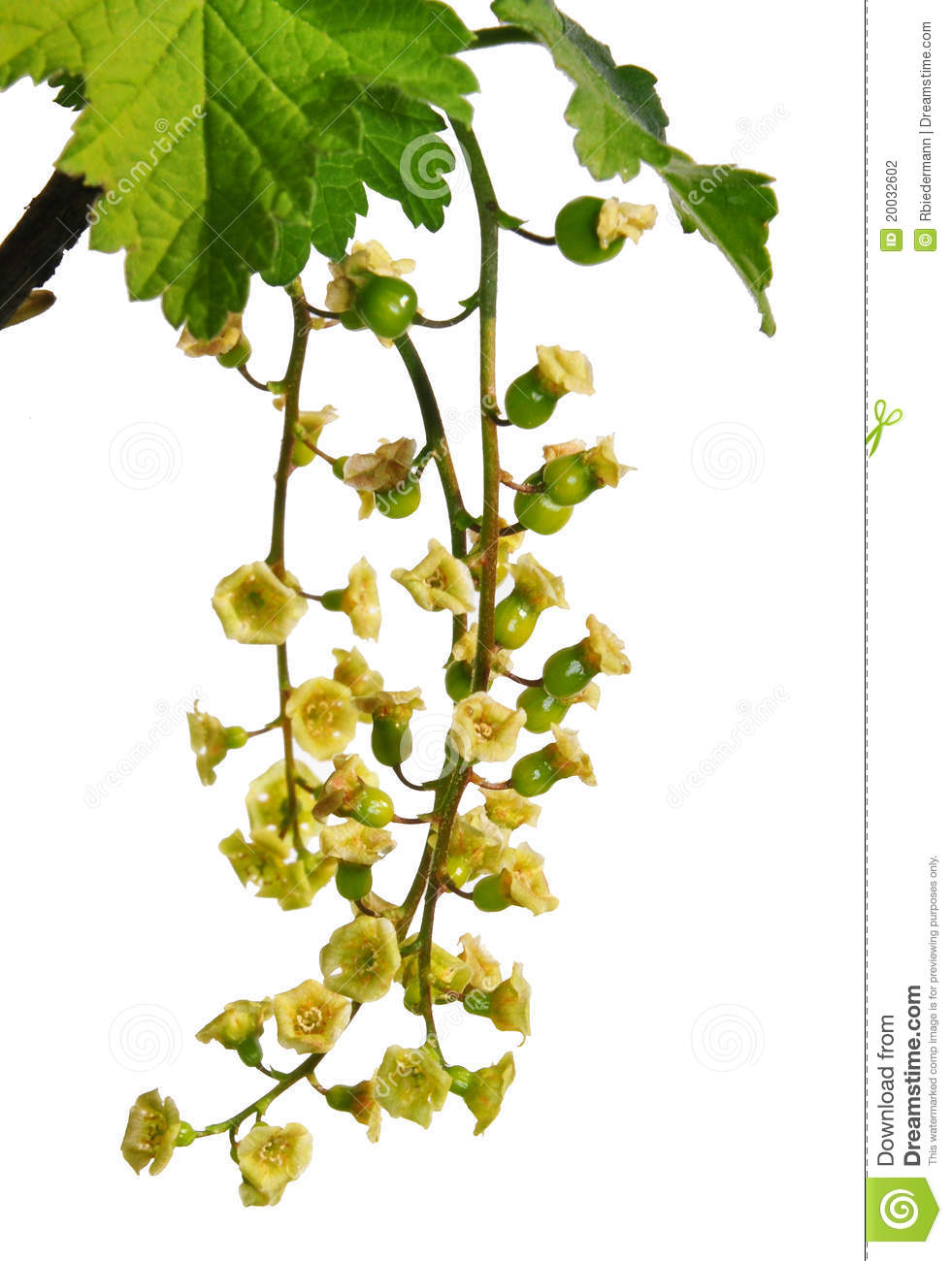 Redcurrant Flowers (Ribes Rubrum) Stock Photography.